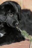 Puppy met spartak Royalty-vrije Stock Fotografie