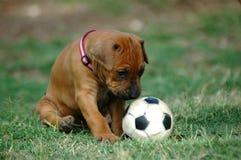 Puppy met stuk speelgoed Stock Afbeelding