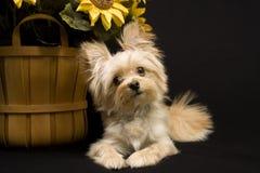 Puppy met Zonnebloem Royalty-vrije Stock Afbeeldingen