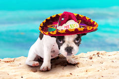Puppy in Mexican sombrero on the beach. French bulldog puppy in Mexican sombrero on the beach Stock Photo