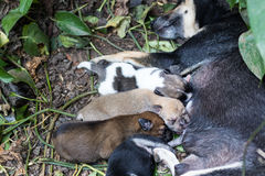 Puppy milk asleep. Royalty Free Stock Photos