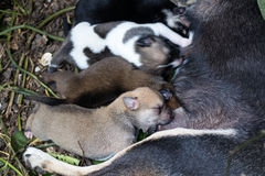 Puppy milk asleep. Stock Photos