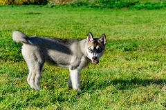 Puppy miniature husky. Dogs play with each other, merry fuss. Harmonious relations, correction of behavior and aggressiveness. Obedient pet performs the stock photo