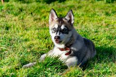 Puppy miniature husky. Dogs play with each other, merry fuss