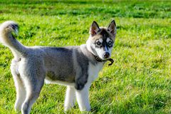 Puppy miniature husky. Dogs play with each other, merry fuss. Harmonious relations, correction of behavior and aggressiveness. Obedient pet performs the stock photography