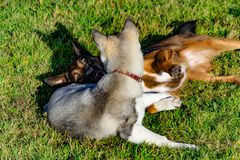 Puppy miniature husky. Dogs play with each other, merry fuss. Harmonious relations, correction of behavior and aggressiveness. Obedient pet performs the royalty free stock photos
