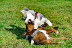 Puppy miniature husky. Dogs play with each other, merry fuss. Harmonious relations, correction of behavior and aggressiveness. Obedient pet performs the royalty free stock photo