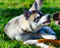 Puppy miniature husky. Dogs play with each other, merry fuss. Harmonious relations, correction of behavior and aggressiveness. Obedient pet performs the royalty free stock image