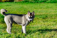 Puppy miniature husky. Dogs play with each other, merry fuss. Harmonious relations, correction of behavior and aggressiveness. Obedient pet performs the royalty free stock images