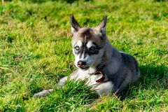 Puppy miniature husky. Dogs play with each other, merry fuss. Harmonious relations, correction of behavior and aggressiveness. Obedient pet performs the stock images