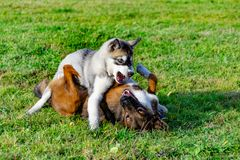 Puppy miniature husky. Dogs play with each other, merry fuss. Harmonious relations, correction of behavior and aggressiveness. Obedient pet performs the stock photos