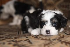 Puppy miniature lies on the bed,funny little dog, looking in camera stock photos