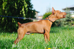 Puppy of Miniature Pinscher barking Stock Photography
