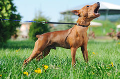 Puppy of Miniature Pinscher barking Stock Image