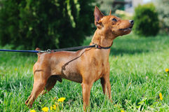 Puppy of Miniature Pinscher in green grass Royalty Free Stock Images