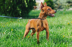 Puppy of Miniature Pinscher in green grass Royalty Free Stock Image