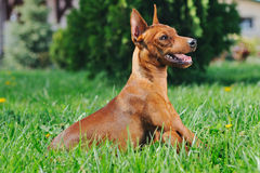Puppy of Miniature Pinscher in green grass Stock Photos