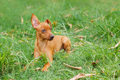Puppy of Miniature Pinscher playing on green grass in Stock Image