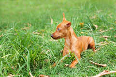 Puppy of Miniature Pinscher  playing on green grass in yard Stock Image