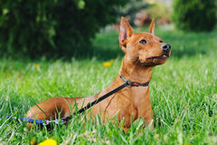 Puppy of Miniature Pinscher sitting in green grass Royalty Free Stock Images