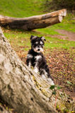 Puppy Miniature Schnauzer Royalty Free Stock Image