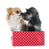 Puppy Miniature Schnauzer and chihuahua Royalty Free Stock Photography