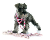 Puppy Miniature Schnauzer Royalty Free Stock Images