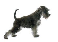 Puppy Miniature Schnauzer stock images