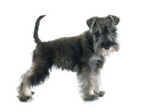 Puppy Miniature Schnauzer. In front of white background stock photo