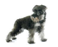 Puppy Miniature Schnauzer Royalty Free Stock Photo