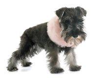 Puppy Miniature Schnauzer Stock Image
