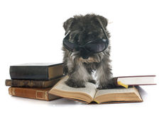 Puppy Miniature Schnauzer Stock Photo