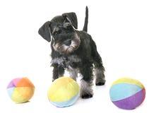 Puppy miniature schnauzer Stock Photos