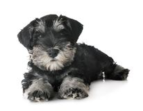 Puppy miniature schnauzer. In front of white background Stock Images