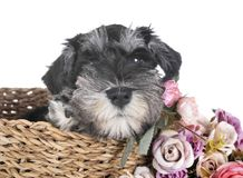 Puppy miniature schnauzer. In front of white background Royalty Free Stock Image