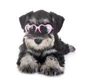 Puppy Miniatuurschnauzer royalty-vrije stock foto's
