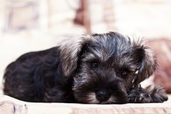 Puppy minischnauzer on the sofa Royalty Free Stock Image