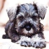 Puppy minischnauzer on the sofa Stock Images