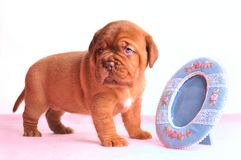 Puppy and a Mirror Royalty Free Stock Photo