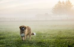 Puppy in misty pasture Royalty Free Stock Photography