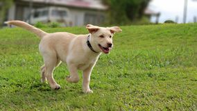 Lab mix puppy running stock images
