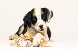 Puppy mix dalmatian Royalty Free Stock Images