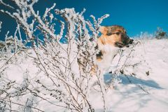 Puppy Of Mixed Breed Dog Playing Running In Snowy Forest In Winter stock image