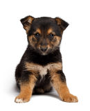 Puppy mixed-breed  sheep-dog with pooch Stock Photos
