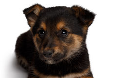 Puppy mixed-breed  sheep-dog with pooch Royalty Free Stock Photography