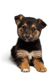 Puppy mixed-breed  sheep-dog with pooch. Puppy mixed-breed  sheep-dog  on white background Stock Photo