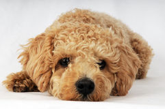 puppy in the mode of longing Stock Image