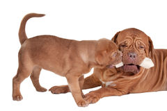 Puppy and mom eating a bone Royalty Free Stock Images