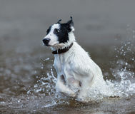 Puppy of mongrel  jumps out of water. Royalty Free Stock Photos