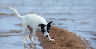 Puppy of mongrel prepares for attack on the seashore. Royalty Free Stock Photography